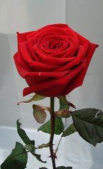 DDDDDDDDDDDDDDD108_rose_rouge_red_naomi
