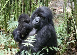 Mother-infant-gorillas-2009
