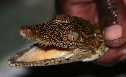 Bébé crocodile 1 (2)