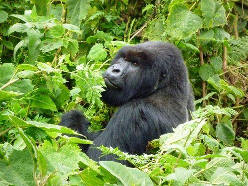 Gorille silverback