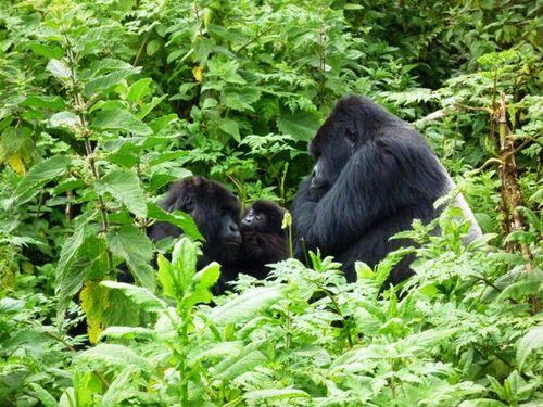 Gorille famille Guyonda 2